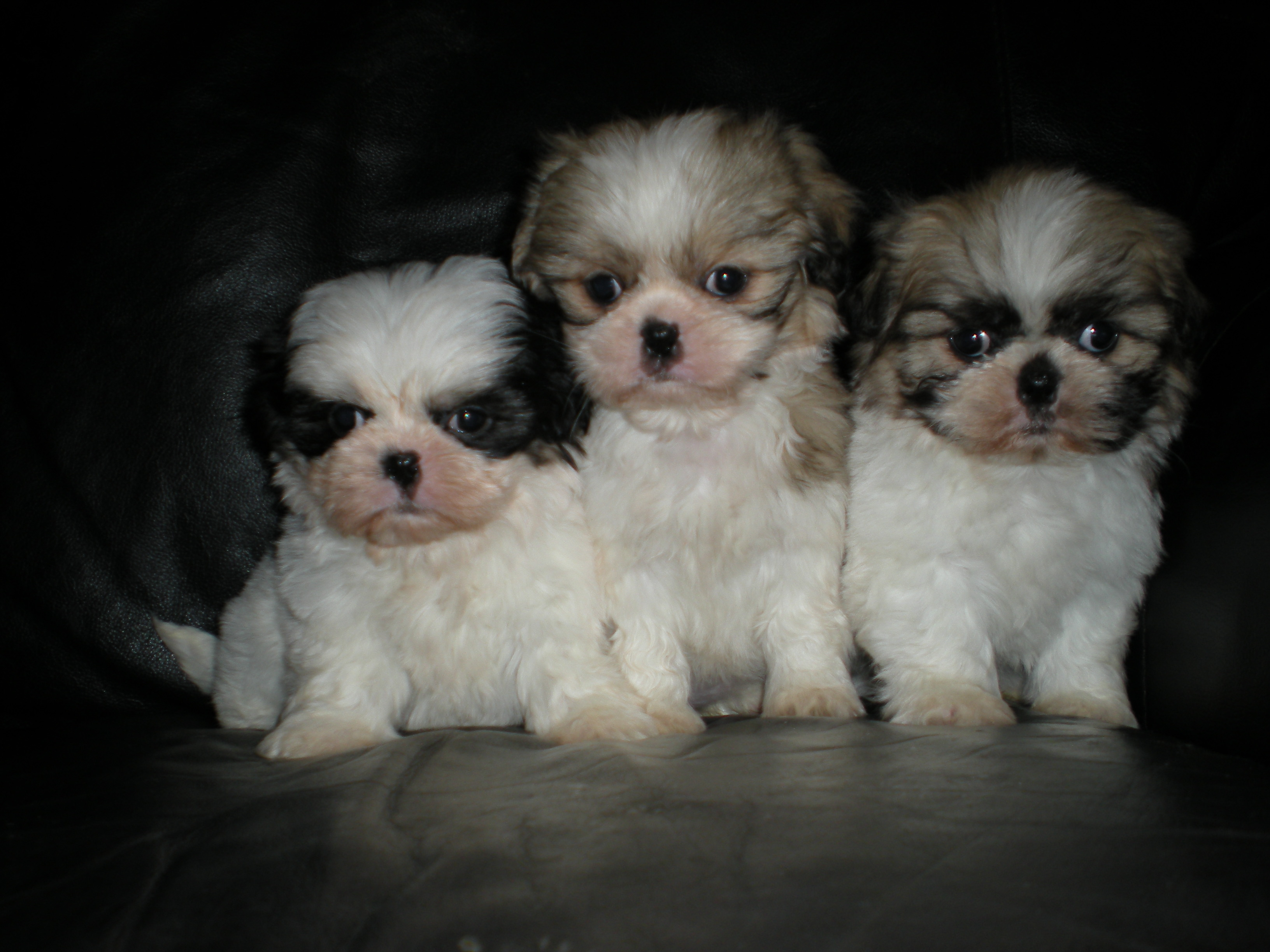Shih-Tzu Puppies - Dogs For Sale in banbridge